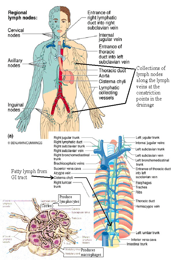 Biol 238 Class Notes The Lymphatic System