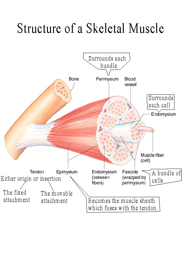 BIOL 237 Class Notes - Muscle Structure
