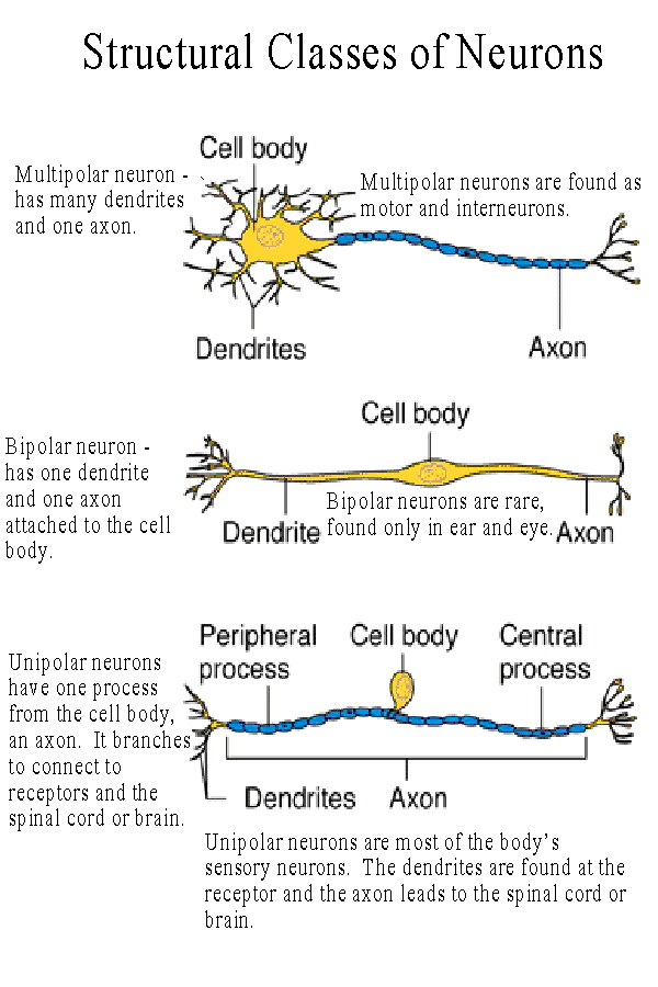 Neuron Structure And Function http://www.unm.edu/~jimmy/neuro_notes.htm