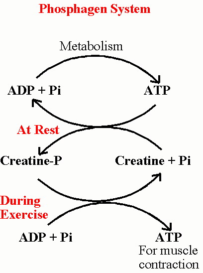 Biol 237 Class Notes Muscle Contractions And Metabolism