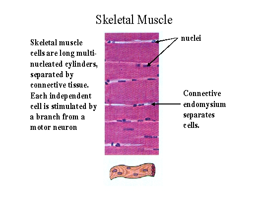 Biol 237 Class Notes Muscle Structure