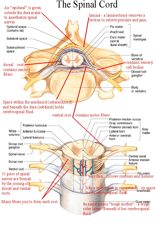 Biol 237 Class Notes The Spinal Cord And Spinal Nerves