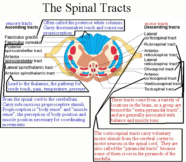 The anterior spinal artery rests in the groove in the front of the cord (at