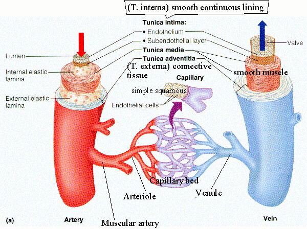 Cardiovascular Disease Blood Vessels Diagram Of The Heart Ppt