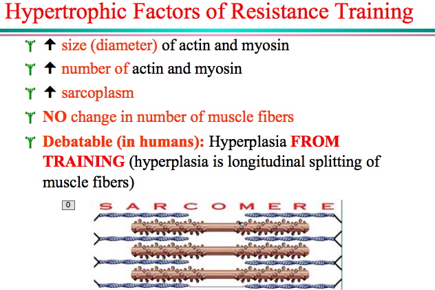 Muscle fiber increase in diameter