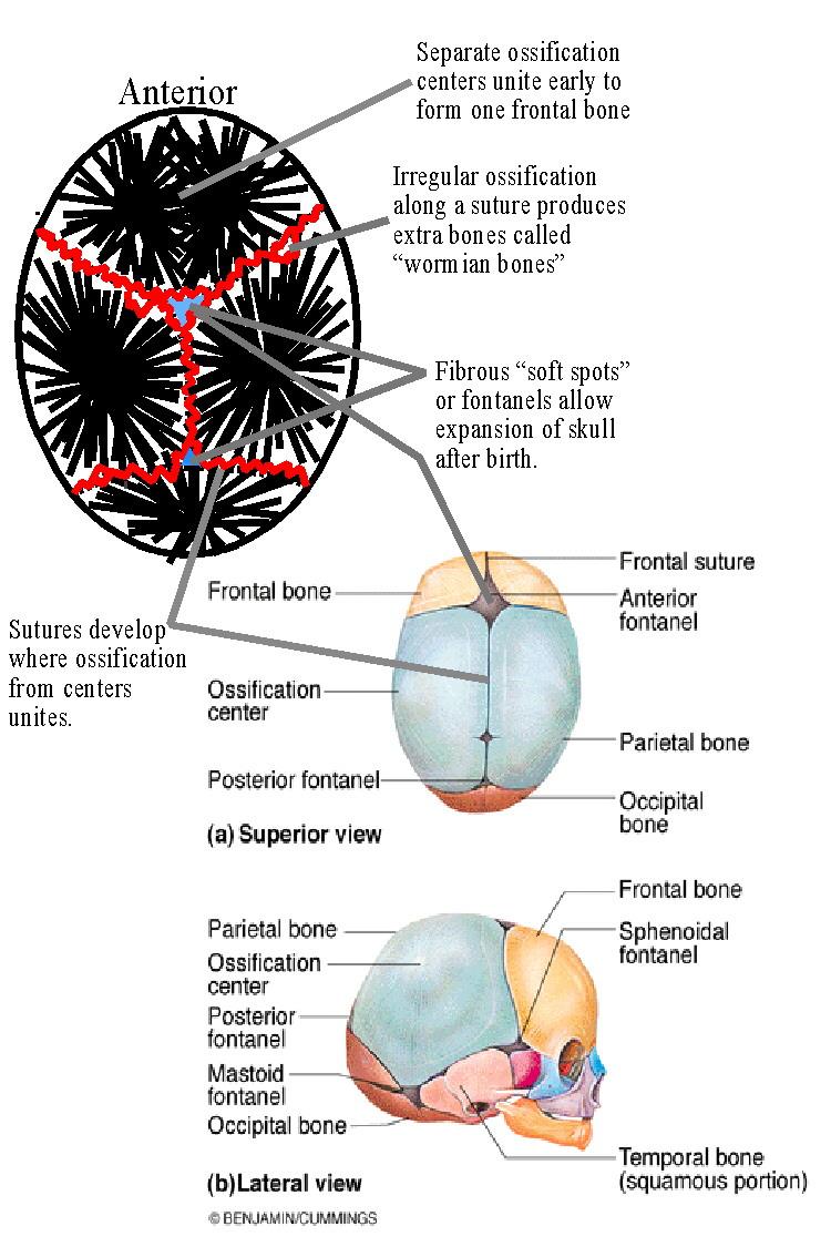 BIOL 237 Class Notes - Skeletal System