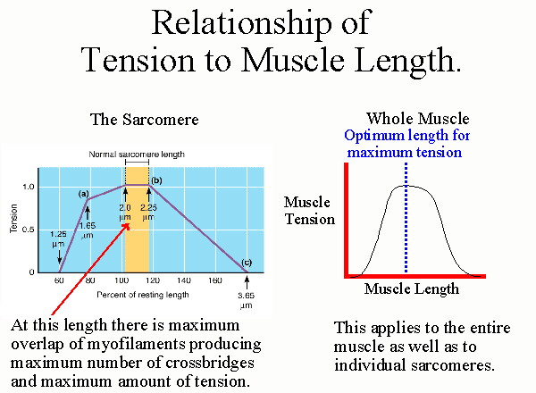 length tension relationship isometric contraction leads