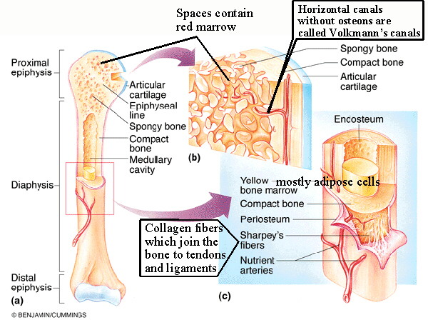 Biol 237 Class Notes Skeletal System
