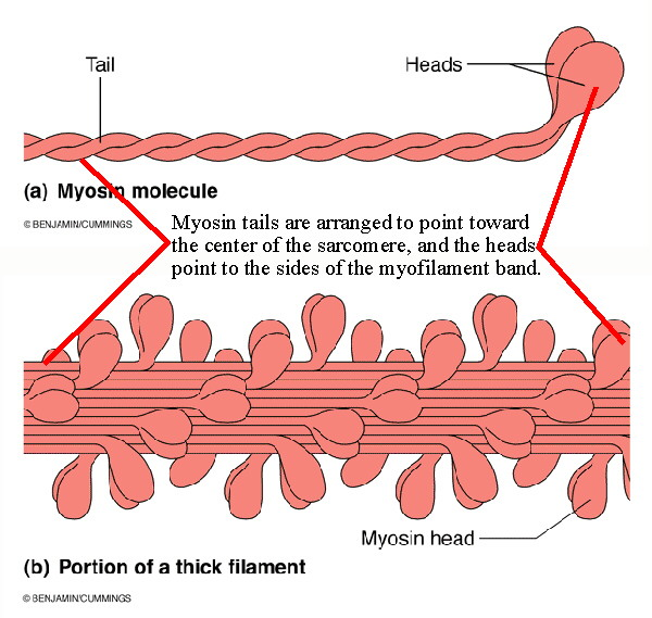 what is the relationship between actin and myosin filaments