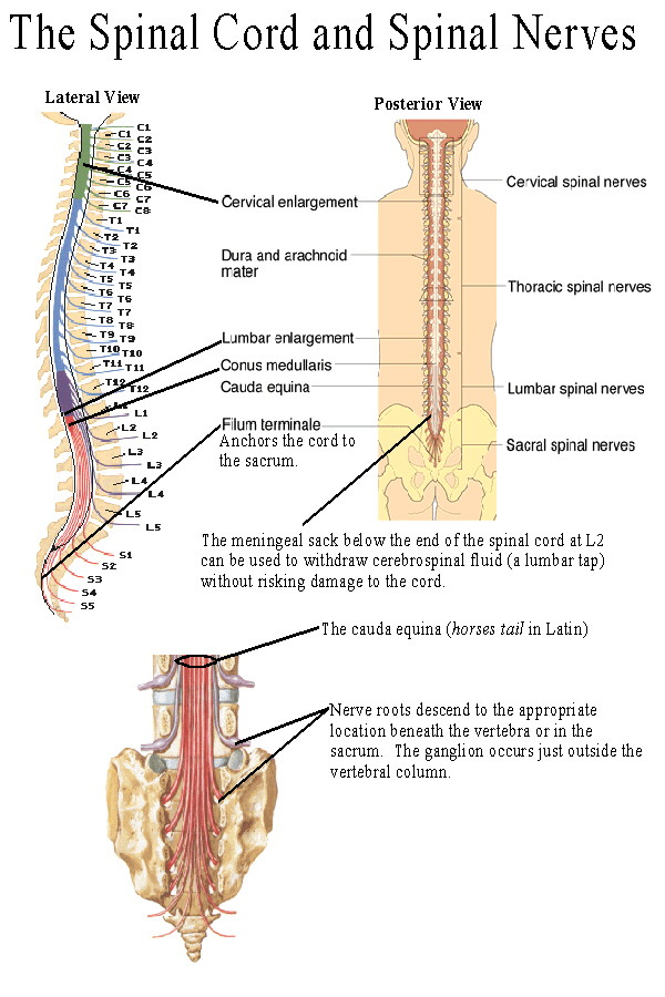 Spinal Cord Nerves Fun...