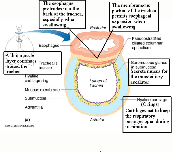 biol 238 class notes - respiratory system tracheal wall diagram cat5 wall jack wiring diagram
