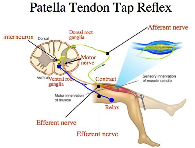 Mytotatic Stretch Reflex