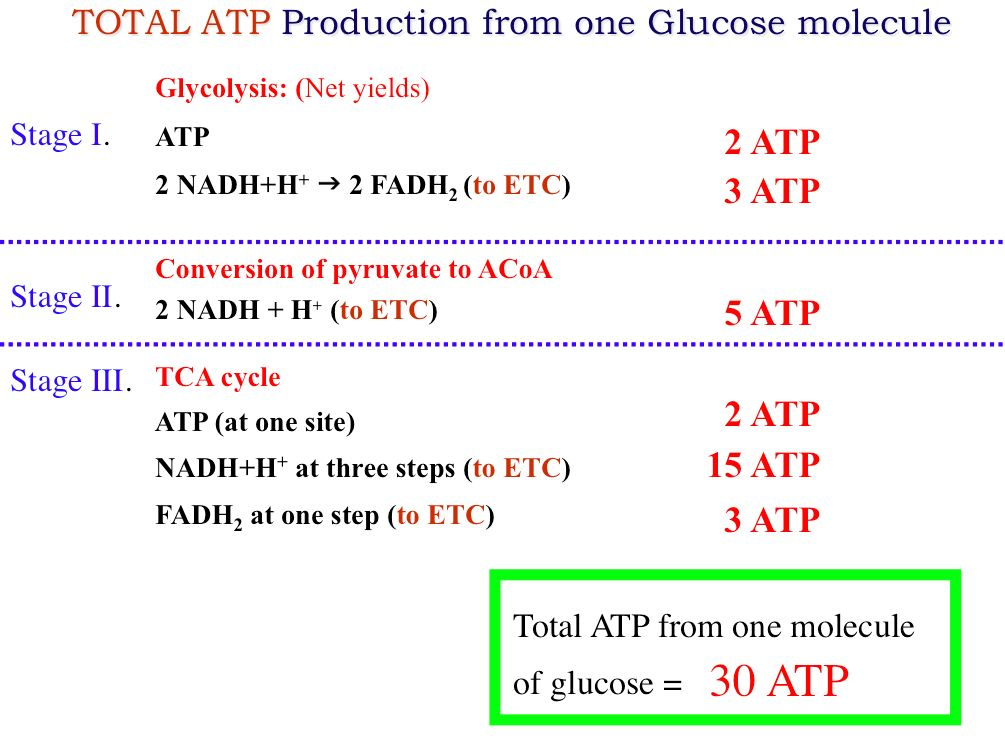 atp production Atp production atp is the molecule that stores energy in a form that can be used for muscle contractions energy production then revolves around rebuilding atp molecules after they are.