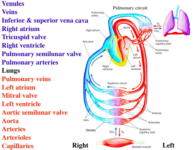Pulmonary And Systemic Circulation Concept Map.Blood Flow Through Systemic And Pulmonary Circuits