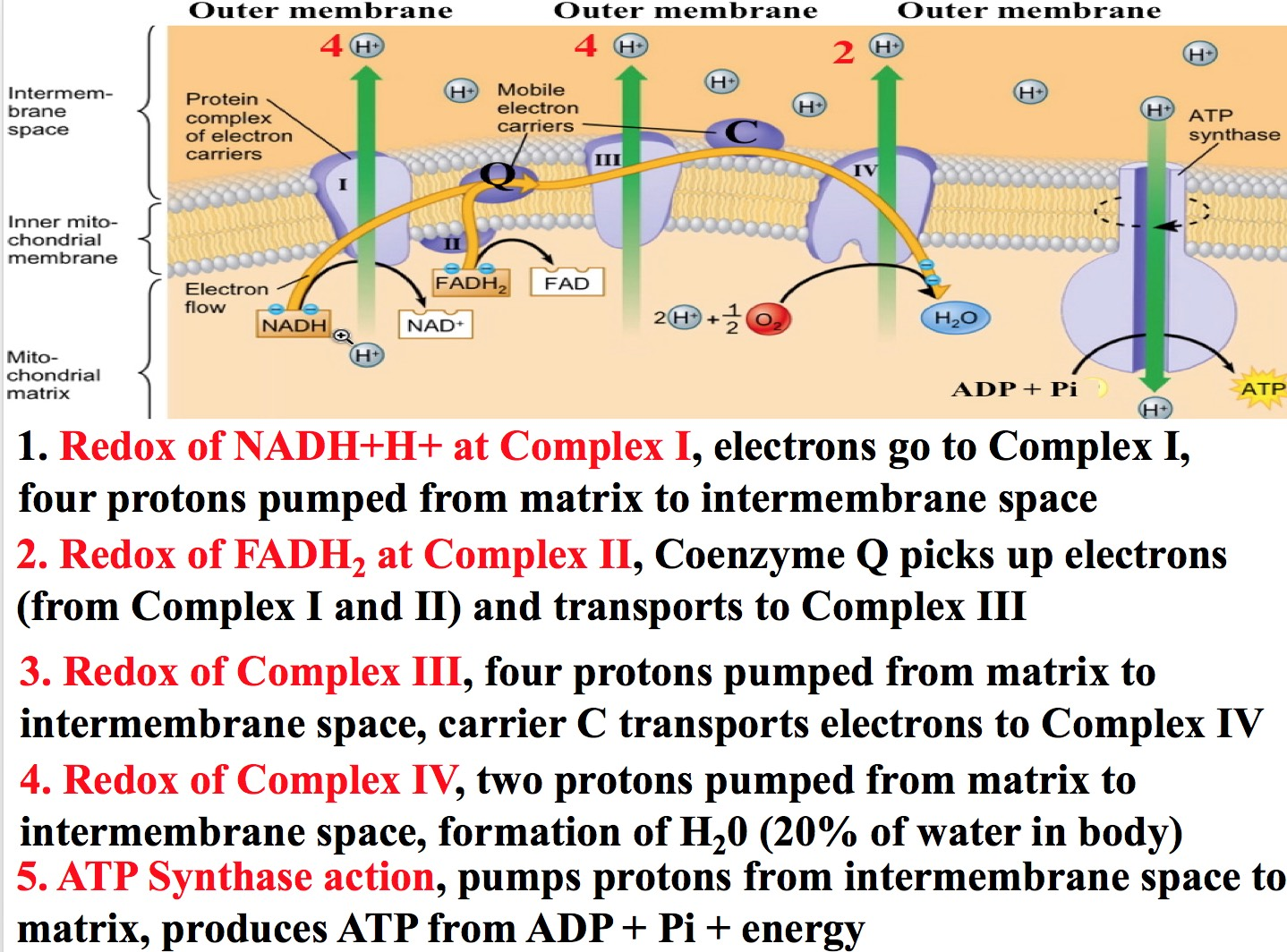 in prokaryotes the respiratory electron transport chain is located