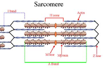 Sarcomere Structure Tutorial Sophia Learning